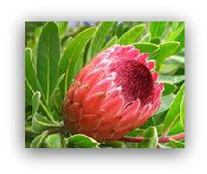 Buy Protea in Minnesota
