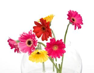 Gerbera Daisies for sale